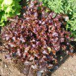 Lechuga Chinita Roja - Red Curly Lettuce