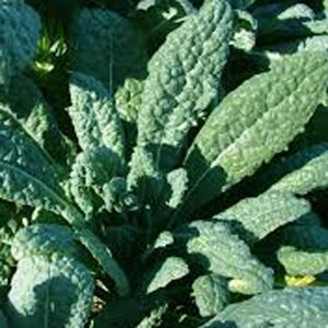Kale Lacinto- Dino Kale